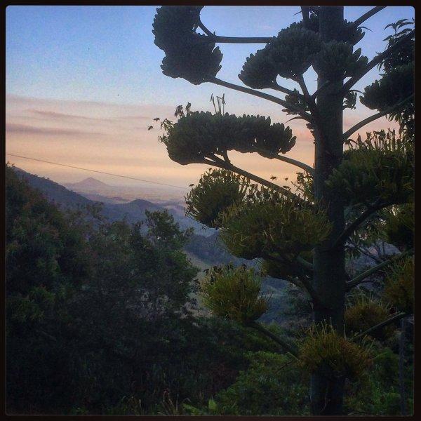 Sunrise through the agave