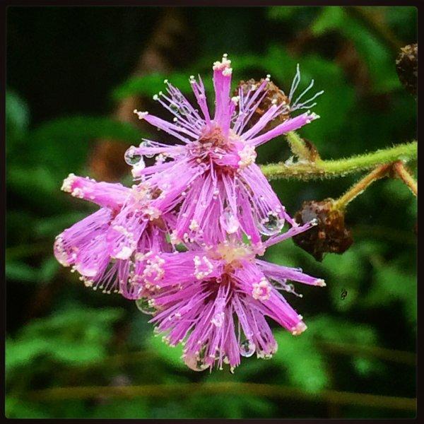 Pink puff in the rain