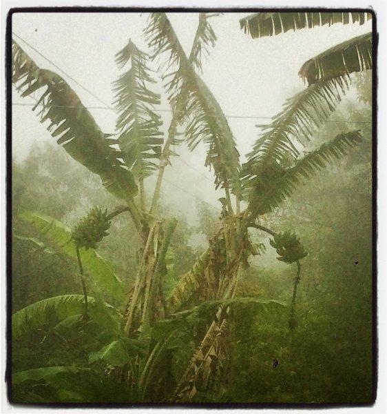 Bananas in the fog