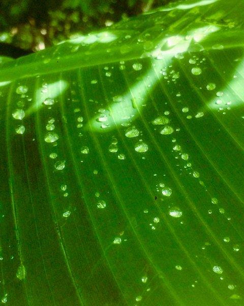 Banana rain drops