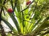 cactus fruit in tapuio