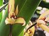 tapuio orchids