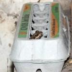 Frog in an egg carton