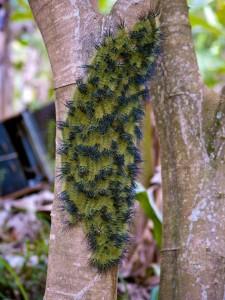 Poisonous stinging caterpillars