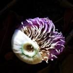 Deep sea creature? Nah. Sapucaia flower.