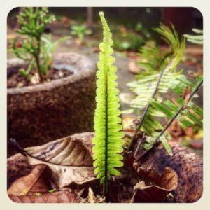 A local fern growing in a sapucaia pot